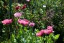 Giverny, jardin de Monet en Juin
